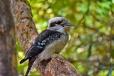 Kookaburra, Dandenong Botanic Garden
