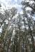 Tall gum trees, Dandenong Botanic Garden