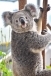 Wildlife Sydney - Koala