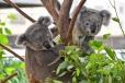 Wildlife Sydney - Koalas