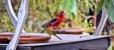 Crimson Rosella & White-eared Honeyeater