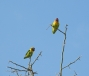 Yellow-collared lovebirds