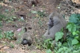 Baboons by the roadside