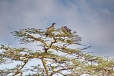White-backed Vultures in Umbrella Thorn tree (acacia tortilis)
