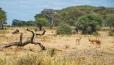 Impala & Wildebeest