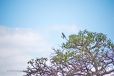 Brown Snake Eagle in Baobab Tree