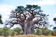 Baobab Tree with Brown Snake Eagle