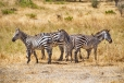 Four Zebras with a Red-Billed Oxpecker