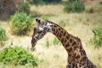 Masai Giraffe with Red-Billed Oxpecker