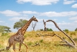 Giraffe with angled tree
