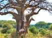 Giraffe & Baobab Tree