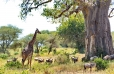 Giraffe with Wildebeest