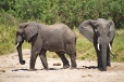 Two Elephants digging for water