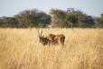 Eland (Africa's largest antelope)