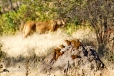 Lion, near Dwarf Mongooses on termite mound
