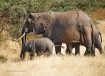 Mama elephant with baby