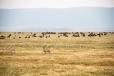 Grant's Gazelles & Wildebeest